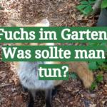 Fuchs im Garten: Was sollte man tun
