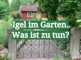 Igel im Garten. Was ist zu tun?
