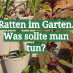 Ratten im Garten. Was sollte man tun?